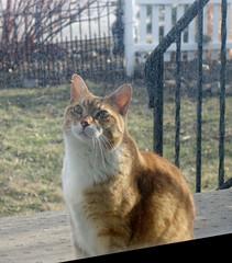 Ziggy Cat - Wants In 3-15-15 07 (anothertom) Tags: cats funnyface doorway wait dirtywindow funnycat ziggycat sonyrx100ii