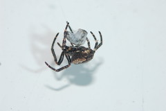 Walnut Wrap (Procrustes2007) Tags: uk england spider suffolk britain wildlife arachnid flash nikond50 sudbury wildlifephotography nucteneaumbratica tamron2xteleconverter nikkor50mmais walnutorbweb vivitarextensionrings68mmtotal d50nocturnalmacro