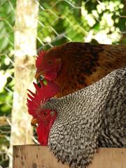 Pareja (Jorge Sols Campos) Tags: pet chicken animal gallo costarica rooster domesticanimals mascota farmanimal gallina prezzeledn animaldegranja animalesdomesticos