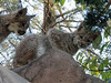 Lynx (4) (bookworm1225) Tags: zoo october 2014 minnesotazoo northerntrail tropicstrail