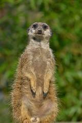 Auf Posten (rollirob) Tags: germany zoo nikon afrika steppe erdmnnchen raubtiere zoodortmund nikond800