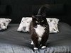 Tussi Onatopp* - on top of our bed... (vanstaffs) Tags: t tuxedocat tutu tusse tussi tuzz cc100 bestofcats tuxedogirl myprettytuxedogirl tuzz®