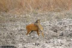 37958 Northern red muntjac (Muntiacus vaginalis) in a seasonal waterhole (trapeang) in dry deciduous forest during the dry season, Mondulkiri Protected Forest, Mondulkiri, Cambodia. IUCN=Least Concern. (K Fletcher & D Baylis) Tags: animal fauna mammal asia cambodia wildlife deer waterhole indochina muntjac barkingdeer mondulkiri muntiacus trapeang leastconcern wildsidephotography drydeciduousforest srepok fletcherbaylis easternplainslandscape northernredmuntjac muntiacusvaginalis mondulkiriprotectedforest srepokwildernessarea
