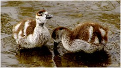Growing up VI (lukiassaikul) Tags: uk lake nature water animals fauna suffolk goose egyptian urbanwildlife stow wildanimals wildbirds wildlifephotography goslingwest goosegoslingegyptian