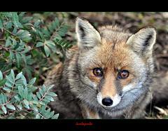 Tutti mi dicon Maremma, Maremma......... (Jambo Jambo) Tags: park italy parco italia eu fox tuscany toscana grosseto maremma volpe parcodellamaremma marinadalberese nikonflickraward parcoregionaledellamaremma nikond5000 jambojambo