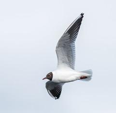 Black-headed Gull (Tom Dalhoy) Tags: sea bird fly wings seagull larusridibundus hettemke chroicocephalusridibundus