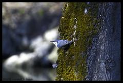 nuthatch (xlod) Tags: park tree bird nature natur nuthatch baum vogel stadtpark erding kleiber singvogel