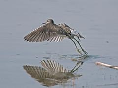 Piro piro boschereccio - Tringa glareola - Wood Sandpiper (vieri bertola) Tags: uccelli racconigi lipu piropiro boschereccio