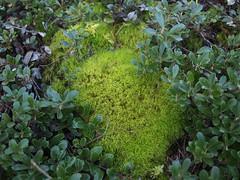 Arctostaphylos sp. and Dicranum sp. (Bushman.K) Tags: moss shrub