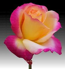 Sutters Gold Rose (sh10453) Tags: flowers roses plants usa nature gardens kodak gardening michigan z1485