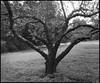 Sonoma Orchard (Summicron20/20) Tags: camera field gold inch os dot 12 rodinal ulf ilford fp4 v10 125 deardorff goerz 10x12 dagor f68