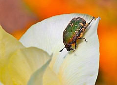 2015.04.24 Green Beetle on White Tulip (eriko_jpn) Tags: whiteflower beetle tulip scarabaeidae flowerchafer ハナムグリ