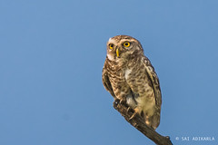Spotted Owlet (Sai Adikarla) Tags: bird nikon wildlife owl kaziranga spottedowlet athenebrama