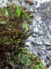 Bryum capillare (chaerea) Tags: canada nature forest woodland moss bc bryophyte bryumcapillare