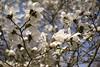Spring magnolia (Man with Red Eyes) Tags: blue flower colour digital spring m8 magnolia forestofdean sunnysixteen leicam8 incamerajpeg 28mmf2summicronmasph