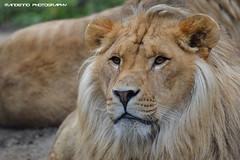 African lion - Olmense Zoo (Mandenno photography) Tags: animal animals cat zoo big belgium belgie lion bigcat lions dieren dierentuin leeuw dierenpark leeuwen olmen balen olmensezoo olmense