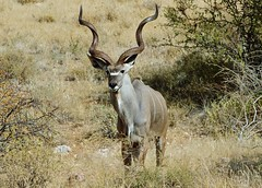 Male Greater Kudu (Tragelaphus strepsiceros) (Susan Roehl - Offline) Tags: kenya2015 samburunationalreserve kenya eastafrica greaterkudu male tragelaphusstrepsiceros oneofthetallestandlongesthornedantelopes weighs600pounds 6feetlong canliveupto8years eastleaves flowersandfruit canleapover8feet thinlypopulated sueroehl naturalexposures photographictours pentaxk3 sigma150500mmlens animal mammal outdoors savannahs hills mountains woodlands ngc