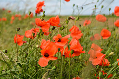 Arme de coquelicots... (Mlanie Du) Tags: world life new flowers red summer flower green nature beautiful beauty out landscape happy photography photo reflex amazing nice nikon photographie picture pic worldwide environment amateur campagne watcher naturewatcher d5200 nikond5200