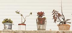 Flower Pots & White Shutter (zeevveez) Tags: canon shutter flowerpot zeevveez