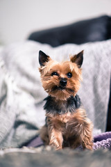 BO (Joshua Bolinger) Tags: a7 sony zeiss 55mm 18 bokeh dogs yorkie