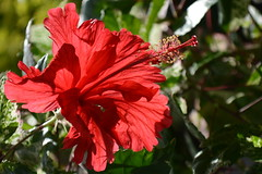 Papoula (Enio Castelo) Tags: flores flor papoula florvermelha praadasflores eniocastelo eniocastelofotografia eniocastelofotgrafo