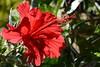 Papoula (Enio Castelo) Tags: flores flor papoula florvermelha praçadasflores eniocastelo eniocastelofotografia eniocastelofotógrafo