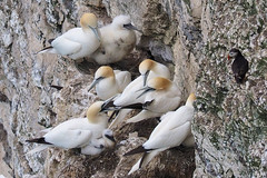 Noisy Neighbours..... (klythawk) Tags: gannets chicks puffin rocks cliffface nature summer yellow grey green black white olympus em1 omd 100300mm panasonic bemptoncliffs rspb eastyorkshire klythawk