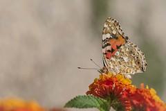 Belle Dame - La Vanesse du chardon (Cynthia cardui ou Vanessa cardui) (Vronique Delaux On/Off) Tags: papillon insecte jardin t belledame