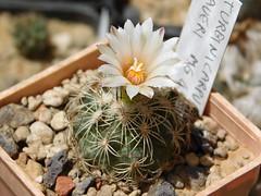 Turbinicarpus saueri MG 453 (Resenter89) Tags: cactus white flower cacti mix grasse desert 10 mg soil mineral cactaceae piante kakteen 453 succulente turbinicarpus saueri flowerscolors