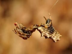 Spined Micrathena (treegrow) Tags: nature washingtondc spider rockcreekpark arthropoda arachnida araneae micrathenagracilis araneidae lifeonearth raynoxdcr250 taxonomy:binomial=micrathenagracilis canonpowershotsx40hs