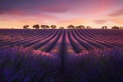Lavender fields in Provence (Valensole, France) (Beboy_photographies) Tags: flowers sunset france flower nature field lines sunrise wow landscape purple lavender rows provence lavande brilliant valensole