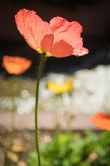 Pink poppy (NettyA) Tags: pink flowers flower garden photography meetup bokeh australia brisbane poppy qld queensland backlit backlighting 2016 romastreetparklands flickrphotowalk sonya7r