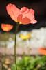 Pink poppy (NettyA) Tags: pink flowers flower garden photography meetup bokeh australia brisbane poppy qld queensland backlit backlighting 2016 romastreetparklands flickrphotowalk sonya7r