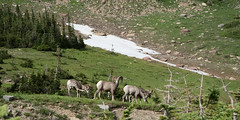 Bighorn Sheep at Logan Pass, Glacier National Park (John Nefastis) Tags: montana glacier nationalpark national park logan pass going sun road big horn bighorn sheep herd snow grass mountain mountains green
