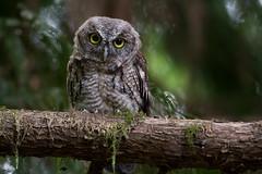 Western Screech Owl (fledgling) (OwlPurist) Tags: westernscreechowlmegascopskennicottii portland oregon fledgling wow