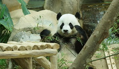 Fu Wa () aka Xing Xing 2016-06-17 (kuromimi64) Tags: bear zoo panda malaysia nationalzoo kualalumpur giantpanda   zoonegara  fuwa      xingxing selangordarulehsan  zoonegaramalaysia