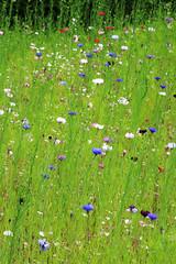 2 Cornflowers, Sissinghurst Castle Garden, Summer 2016 (Jim_Higham) Tags: flowers flower border meadow vita sackvillewest cornflowers sissinghurstcastlegardensummer2016beautifulamazing