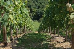 ckuchem-1433 (christine_kuchem) Tags: ahrtal anbau anbaugebiet eifel felsen rotweinwanderweg schiefer schieferfelsen sommer weinanbau weinberg weintraubenanbau weintrauben
