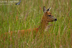 Roe Deer (Capreolus capreolus) (gcampbellphoto) Tags: nature forest mammal scotland roedeer cairngorms capreoluscapreolus animalwildlife gcampbellphoto