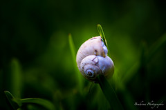 Broken snail. (Bouhsina Photography) Tags: light color macro green broken nature canon garden outside bokeh lumire jardin snail morocco maroc escargot couleur ttouan cass bris tetuan 2016 brillant ef100macro bouhsina souani 5diii bouhsinaphotography