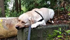 Gracie chewing on a stick (walneylad) Tags: summer dog pet cute puppy gracie lab labrador july canine labradorretriever