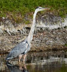 Jul 29 20166127 (Lake Worth) Tags: animal animals bird birdwatcher birds canonef500mmf4lisiiusm canoneos1dxmarkii everglades feathers florida nature outdoor southflorida waterbirds wetlands wildlife wing