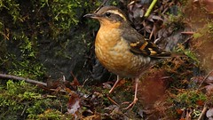 Varied Thrush (Greatblue1) Tags: vancouver queenelizabethpark ixoreusnaevius variedthrush birdinginbritishcolumbia