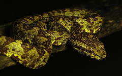The Midas Viper (Elliot Pelling) Tags: snake endemic western ghats india karnataka agumbe research rainforest station arrs asia venomous reptile herp pit viper golden midas beautiful position yellow morph