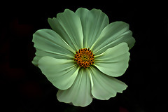 IMGP5268  Cosmos (tsuping.liu) Tags: outdoor blackbackground blooming plant petal photoborder perspective passion purity flower