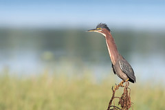 Up Periscope (PeterBrannon) Tags: bird butoridesvirescens florida greenheron heron littlegreenheron nature polkcounty water wildlife periscope