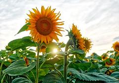Sunflowers in Poland (Arturo_Jose) Tags: sunflower poland olympus omd em1 girasol hdr aurorahdr