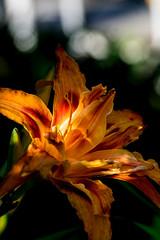 Du kannst das Licht nur sehen, wenn du die Dunkelheit kennst - You only can see the light, if you know the darkness (ralfkai41) Tags: lily pflanze nature daylily blume outdoor licht natur light plant schatten taglilie shadow blte flower blossom lilie