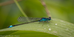 Blue Tailed Damselfly (cconnor124) Tags: flyinginsects insects insectphotography damsels damselfly bluetaileddamselfly uknature nature naturephotography canon100mmmacrolens canoneos