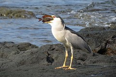the feast (BarryFackler) Tags: heron honaunau nycticoraxnycticorax blackcrownednightheron nightheron shorebird nnycticorax aukuu bird aves avian outdoor feeding eating swallowing animal aquaticbird aquatic lavarock life westhawaii water hawaiiisland hawaiicounty hawaii hawaiianislands sandwichislands predation predator prey ecology ecosystem tropical pacific polynesia pacificocean organism ocean island bigisland acanthurusnigrofuscus brownsurgeonfish tang fish surgeonfish lavendertang anigrofuscus sea sealife seacreature fauna saltwater kona konacoast zoology creature vertebrate barryfackler barronfackler biology bay nature 2016